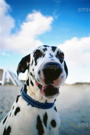 Dalmatian on beachの写真素材 [FYI02131784]