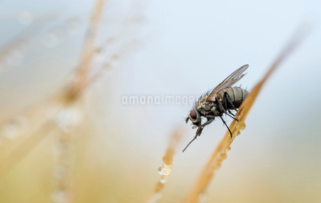 Housefly on straw with dew dropsの写真素材 [FYI02133298]