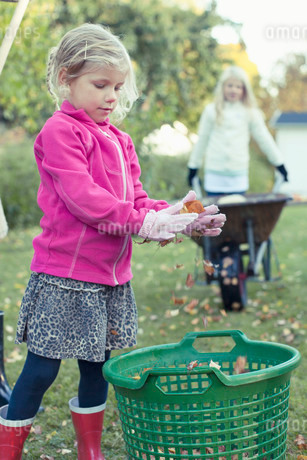Girl collecting autumn leaves in basket at yardの写真素材 [FYI02133395]