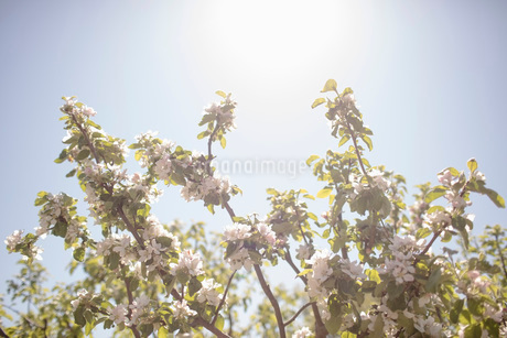 Low angle view of flowering branches against clear sky during sunny dayの写真素材 [FYI02140501]