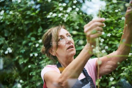 Senior gardener analyzing plants seen through glassの写真素材 [FYI02142500]