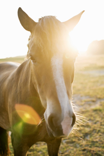 Portrait of brown horse on field during sunsetの写真素材 [FYI02143356]