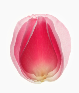 Close up of blurred, pink flower petalの写真素材 [FYI02144836]