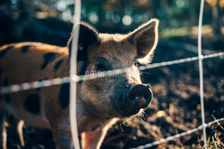 Pig standing in animal pen at organic farmの写真素材 [FYI02144966]