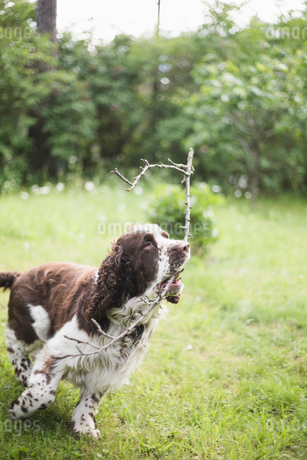 English Springer Spaniel running with stick on grass in back yardの写真素材 [FYI02145609]
