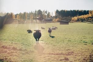 Sheep on field at organic farmの写真素材 [FYI02146169]
