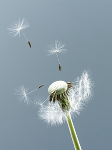 Close up of seeds blowing from dandelion on blue backgroundの写真素材 [FYI02146224]