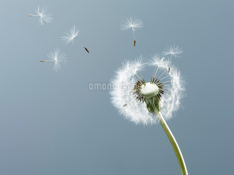 Close up of seeds blowing from dandelion on blue backgroundの写真素材 [FYI02146261]