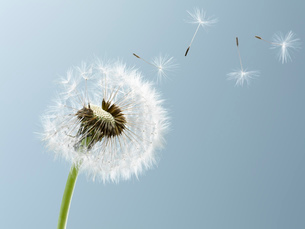 Close up of seeds blowing from dandelion on blue backgroundの写真素材 [FYI02146265]