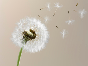 Close up of seeds blowing from dandelion on beige backgroundの写真素材 [FYI02146277]