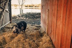 Pig walking on straw in barnの写真素材 [FYI02146896]