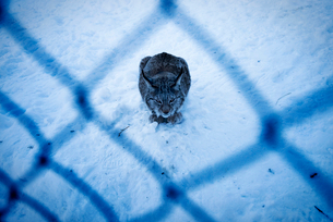 Wildcat sitting on snow covered field over shadowの写真素材 [FYI02146932]
