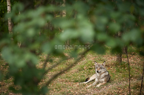 Wolf resting on field in forestの写真素材 [FYI02146953]