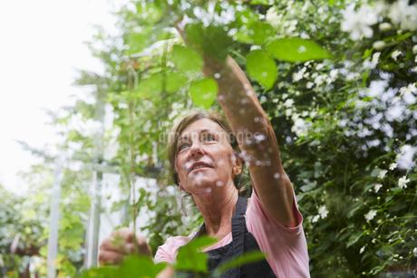 Senior female gardener analyzing plants seen through glass in yardの写真素材 [FYI02147553]
