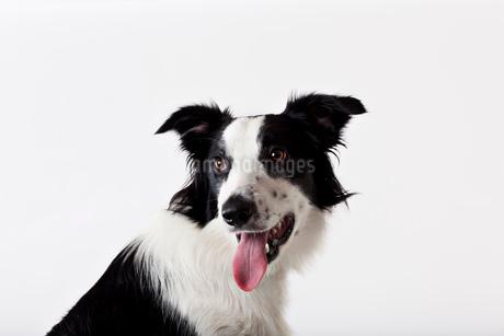 Close up of dog's panting faceの写真素材 [FYI02148318]