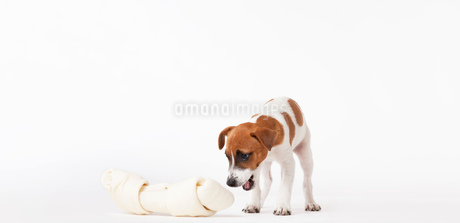 Dog looking at oversized boneの写真素材 [FYI02148558]