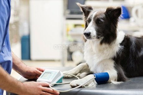 Veterinarian examining dog in vet's surgeryの写真素材 [FYI02148657]