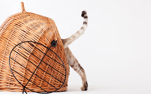 Cat climbing into wicker basketの写真素材 [FYI02148732]