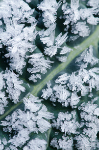 Close up of frost crystals on dinosaur kale leafの写真素材 [FYI02148783]