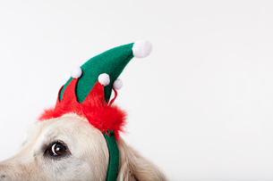 Close up of dog wearing Christmas hatの写真素材 [FYI02148839]