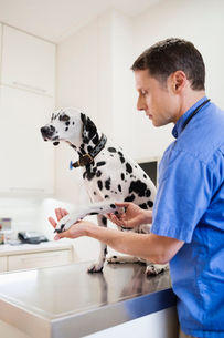 Veterinarian examining dog in vet's surgeryの写真素材 [FYI02148859]
