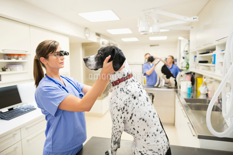 Veterinarian examining dog's ears in vet's surgeryの写真素材 [FYI02149183]