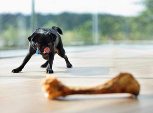 Dog licking his lips at boneの写真素材 [FYI02149363]