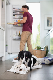 Dog chewing up toilet paper in kitchenの写真素材 [FYI02149365]