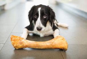 Dog eating bone on floorの写真素材 [FYI02149602]