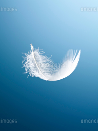 Feather floating on blue backgroundの写真素材 [FYI02149637]