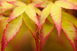Close up of acer palmatum leavesの写真素材 [FYI02149671]