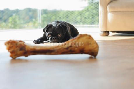 Dog resisting bone in living roomの写真素材 [FYI02150542]