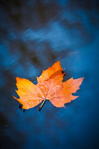 Maple leaf floating in still lakeの写真素材 [FYI02154696]