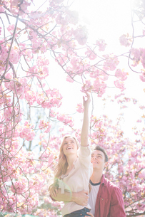 Man lifting girlfriend to reach pink flowers on treeの写真素材 [FYI02155512]