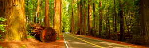 Rural road in redwood forestの写真素材 [FYI02156248]