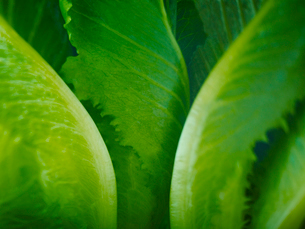 Extreme close up of romaine lettuce leavesの写真素材 [FYI02157263]