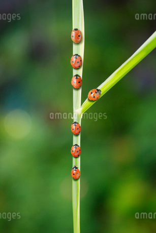 Ladybug taking fork in the road on leafの写真素材 [FYI02157941]