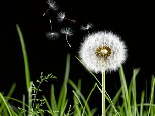 Close up of dandelion plant blowing in windの写真素材 [FYI02158460]