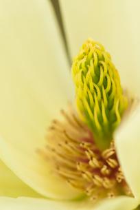 Close up of magnolia blossomの写真素材 [FYI02158623]