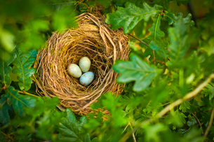 Close up of bird's eggs in nest outdoorsの写真素材 [FYI02159000]