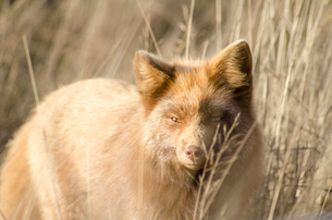 Red fox prowling in tall grassの写真素材 [FYI02159366]
