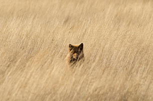 Red fox hiding in tall grassの写真素材 [FYI02159611]