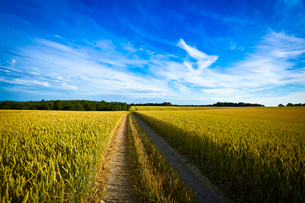 Dirt road in wheat fieldの写真素材 [FYI02159698]