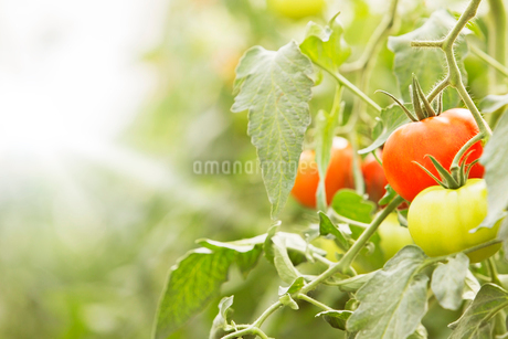 Close up of tomatoes, growing on vinesの写真素材 [FYI02162496]