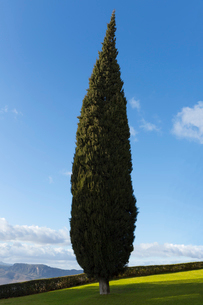 Cypress tree, Andaluc'a, Spainの写真素材 [FYI02163320]