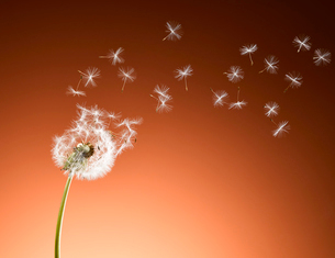 Dandelion seeds blowing against orange backgroundの写真素材 [FYI02167122]