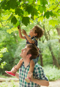 Father carrying son on shoulders reaching for tree leavesの写真素材 [FYI02168680]