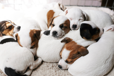 Sleeping puppies on top of each otherの写真素材 [FYI02170387]