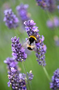 Bumblebee pollinating purple lavender flowersの写真素材 [FYI02170517]