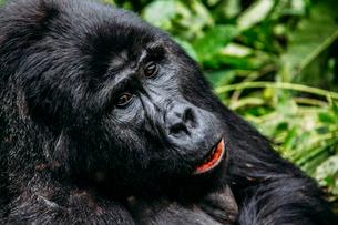 Close up of gorilla, Bwindi Impenetrable National Park, Ugandaの写真素材 [FYI02170842]